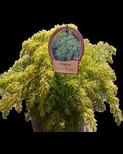 Ienupar All Gold - Juniperus Conferta 'All Gold'