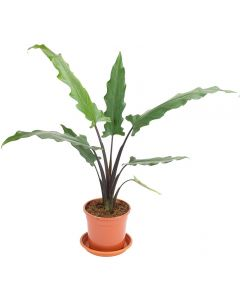 Alocasia - Alocasia Lauterbachiana