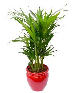 Palmier Areca 65 cm - Chrysalidocarpus Lutescens