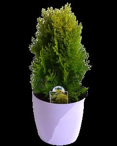 Conifer Thuja - Aurea Nana - Thuja Orientalis 'Aurea Nana'