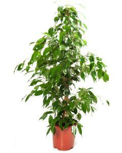 Ficus Benjamina 130 cm
