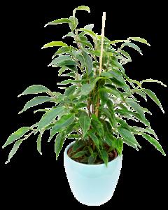 Ficus Benjamina 40 cm