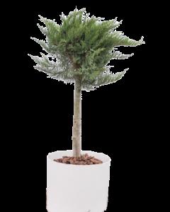 Ienupar Bila pe Trunchi - Juniperus