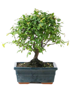 Bonsai Sagaretia