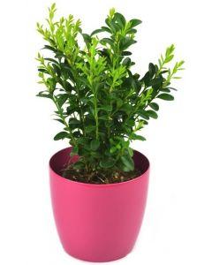 Buxus - Buxus sempervirens