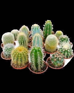 Cactus Mix 5 cm