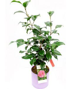 Camelia - Camellia Japonica