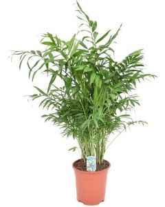 Palmier Chamaedorea XL - Chamaedorea Elegans