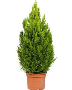 Conifer Chiparos Lamaita - Cupressus Macrocarpa 'Wilma Goldcrest'