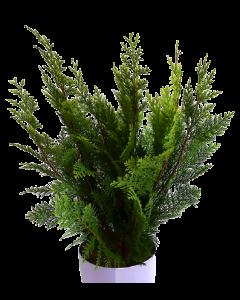 Chiparos Japonez - Chamaecyparis Lawsoniana