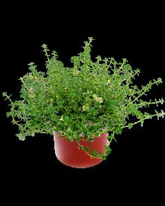 Cimbrisor - Thymus Serpyllum