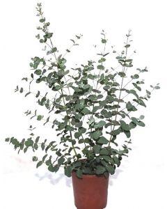 Eucalipt - Eucalyptus Cinerea