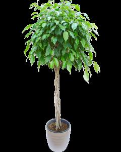 Ficus Benjamina 140 cm impletit