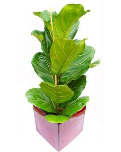 Falsul Smochin - Ficus Lyrata