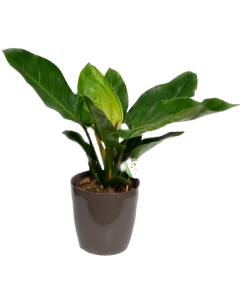 Filodendron - Philodendron Imperial