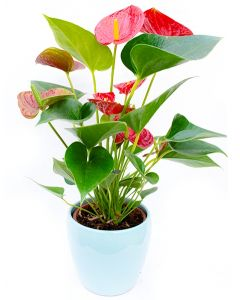 Flamingo - Anthurium Andraeanum