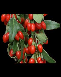 Goji - Arbust fructifer