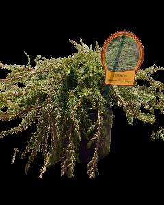 Ienupar Green Carpet - Juniperus Communis 'Green Carpet'