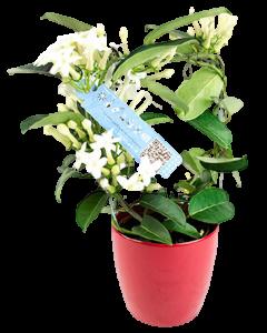 Iasomia de Madagascar - Stephanotis Floribunda