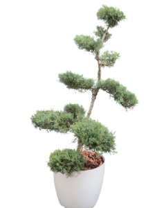 Ienupar Bonsai 120 cm - Juniperus
