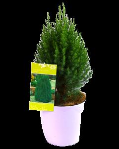 Ienupar Chinezesc - Juniperus Chinensis