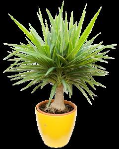 Yucca Jewel - Yucca Elephantipes