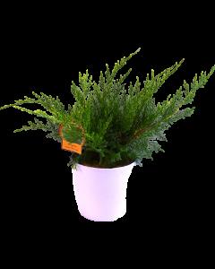 Ienupar Mint Julep - Juniperus Mint Julep
