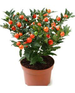 Marul Dragostei - Solanum Pseudocapsicum