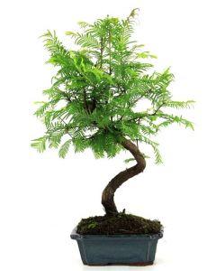 Bonsai Conifer - Bonsai Metasequoia