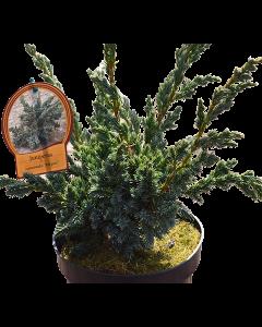 Ienupar Mayeri - Juniperus Squamata 'Mayeri'
