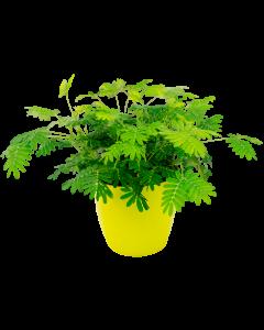 Mimoza - Mimosa Pudica