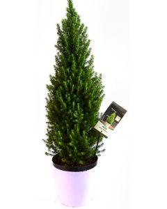 Molid Conic Pitic - Picea Glauca Conica