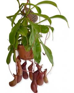 Nepenthes - Nepenthes Alata
