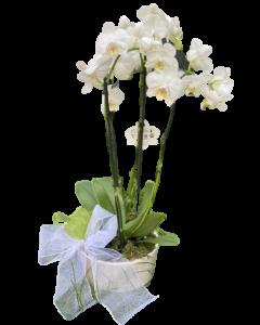 Orhideea Phalaenopsis