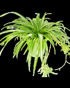 Planta Paianjen - Clorophytum Comosum