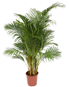 Palmier Areca - Chrysalidocarpus Lutescens
