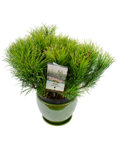 Pin de Munte Pitic - Pinus Mugo Mughus