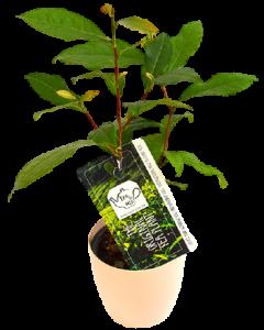 Planta de Ceai - Camellia Sinensis