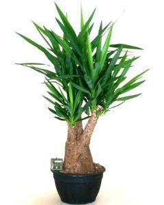 Yucca Elephantipes Ramificata - Yucca