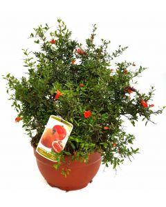 Rodia - Punica Granatum