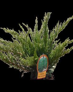 Ienupar Tamariscifolia - Juniperus Sabina 'Tamariscifolia'