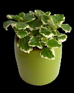 Tantarica - Plectranthus coleoides