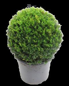 Taxus Baccata Bila - Taxus Baccata
