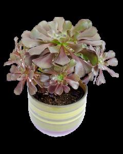 Trandafir irlandez - Aeonium arboreum