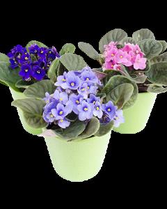 Violeta de Parma - Saintpaulia
