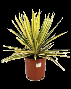 Yucca de gradina - Yucca Filamentosa