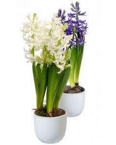 Zambila - Hyacinthus Orientalis
